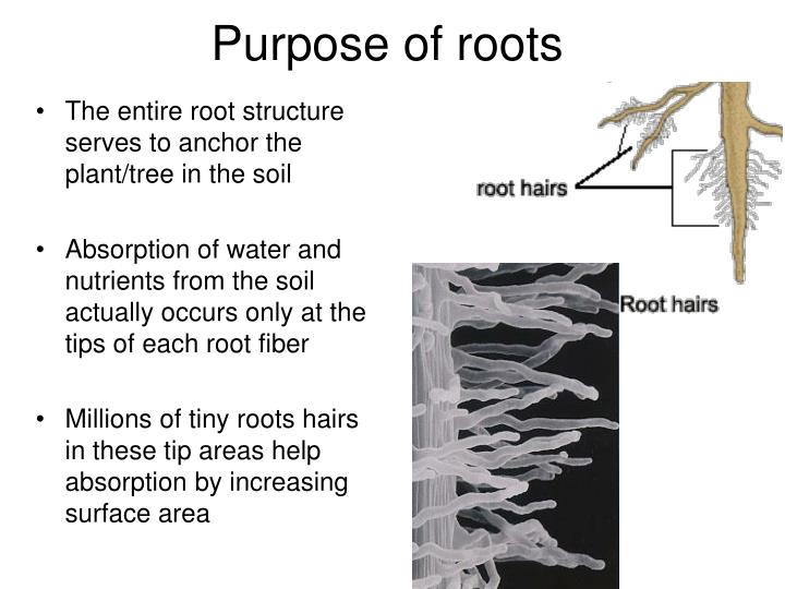Purpose of roots