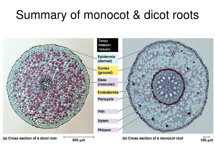 Summary of monocot & dicot roots