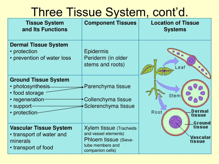 Three Tissue System, cont'd.