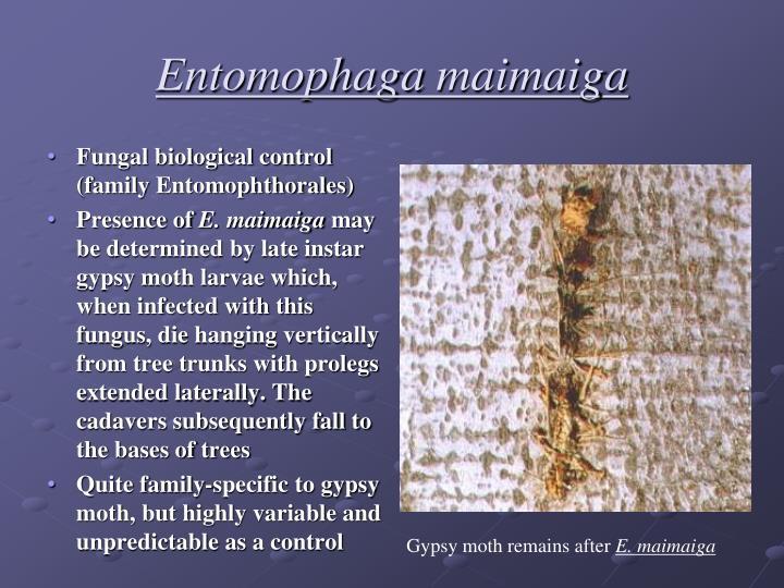 Entomophaga