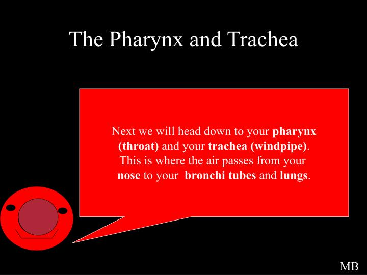 The Pharynx and Trachea