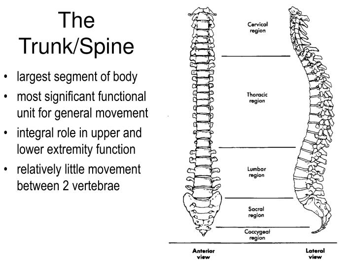 the trunk spine n.