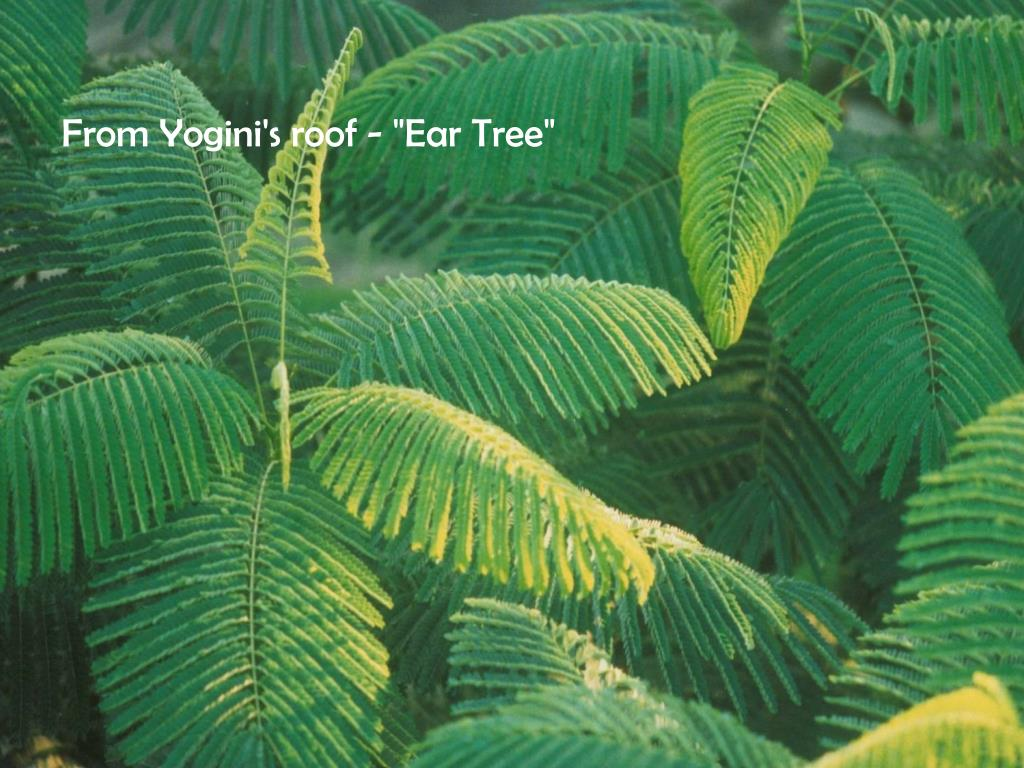 """From Yogini's roof - """"Ear Tree"""""""