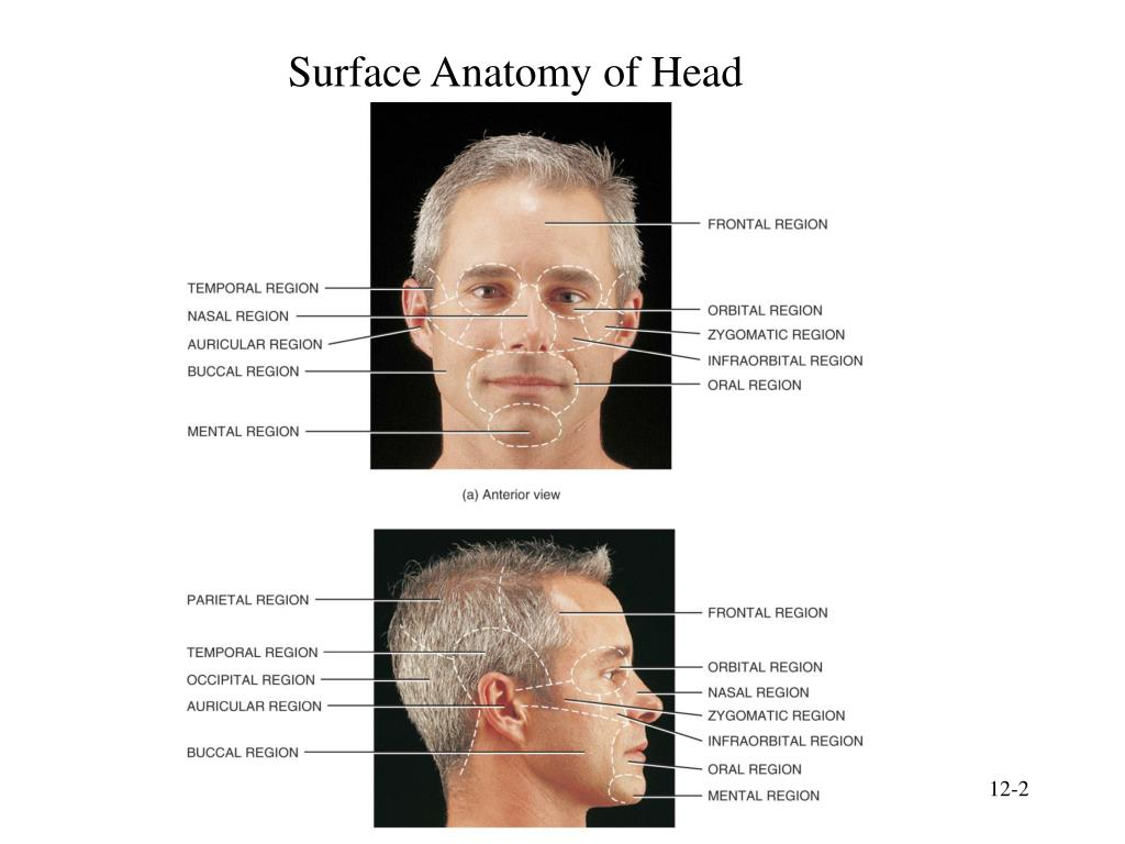 Ppt Chapter 12 Surface Anatomy Powerpoint Presentation Free