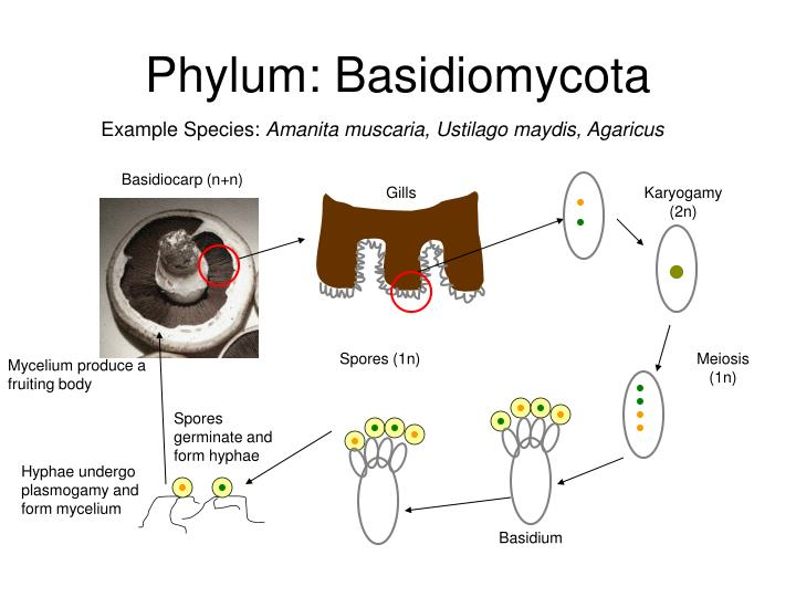 Definisi jamur basidiomycota asexual reproduction