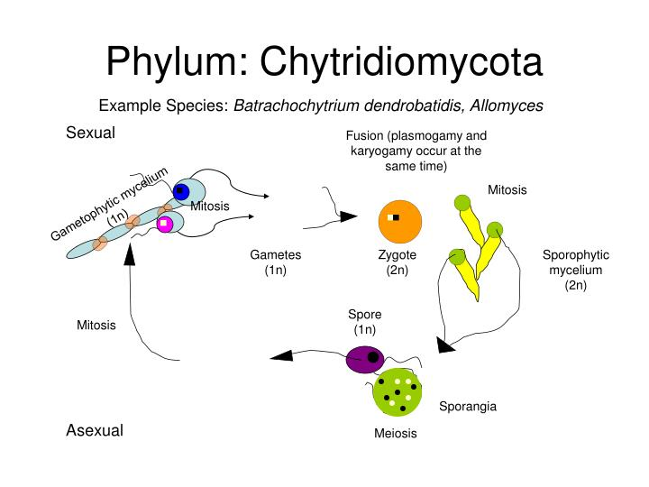 Chytrids asexual reproduction pictures