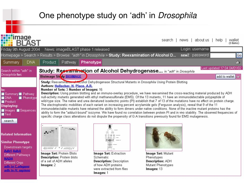 One phenotype study on 'adh' in