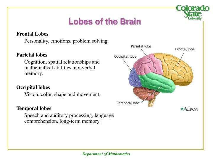 Lobes of the Brain