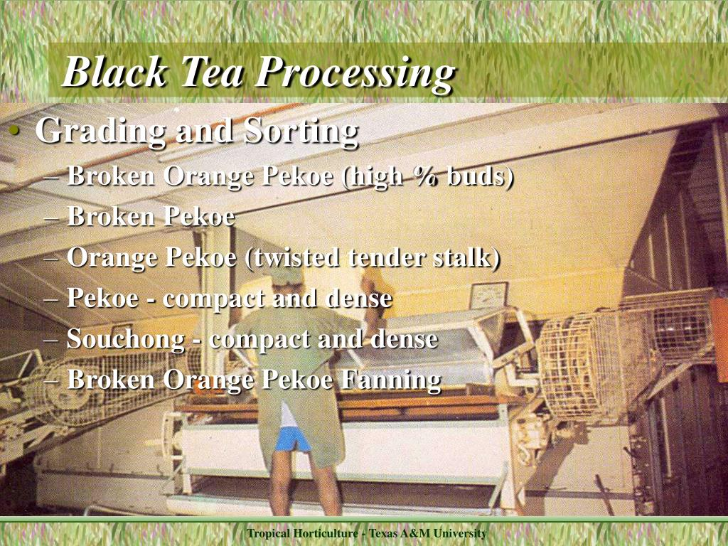 Black Tea Processing