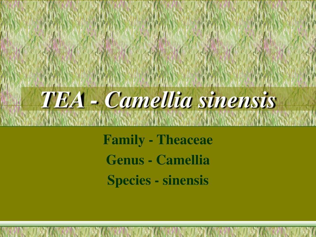 tea camellia sinensis l.