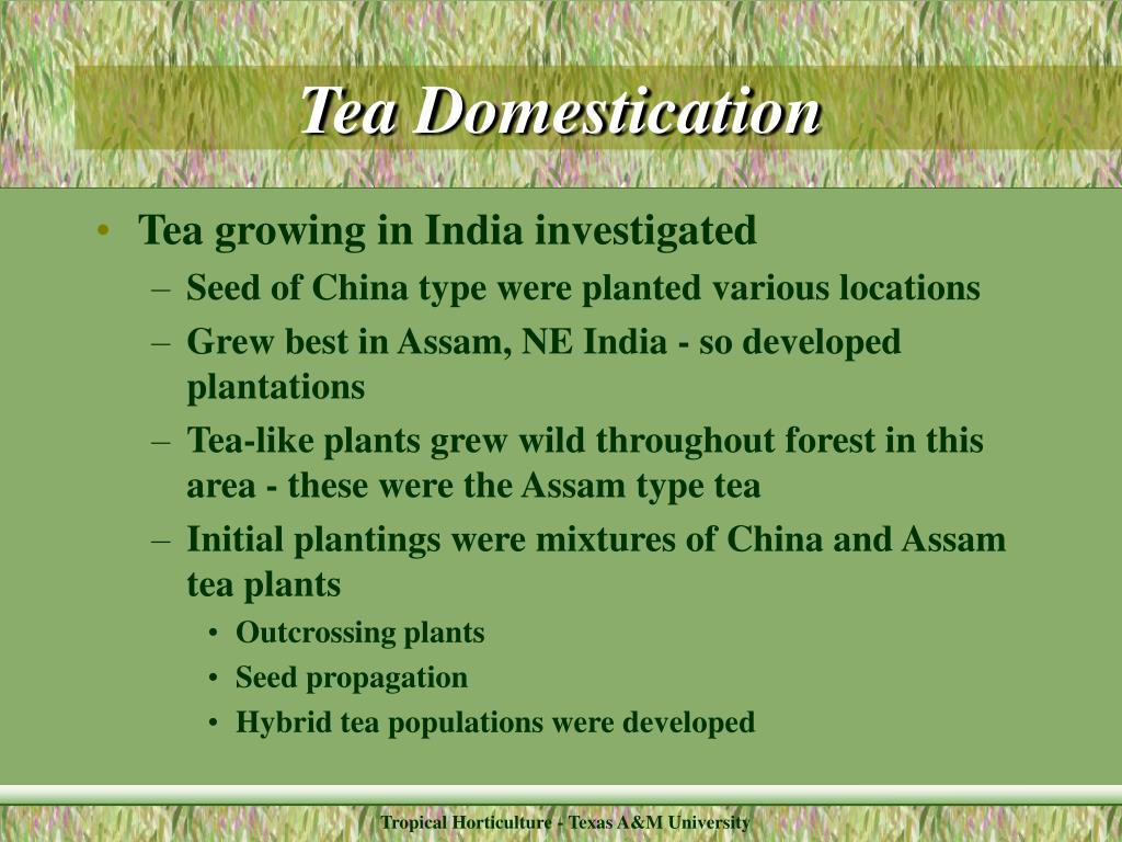Tea Domestication