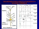 organizarea structural i func ional a scoar ei cerebrale2