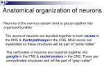 anatomical organization of neurons
