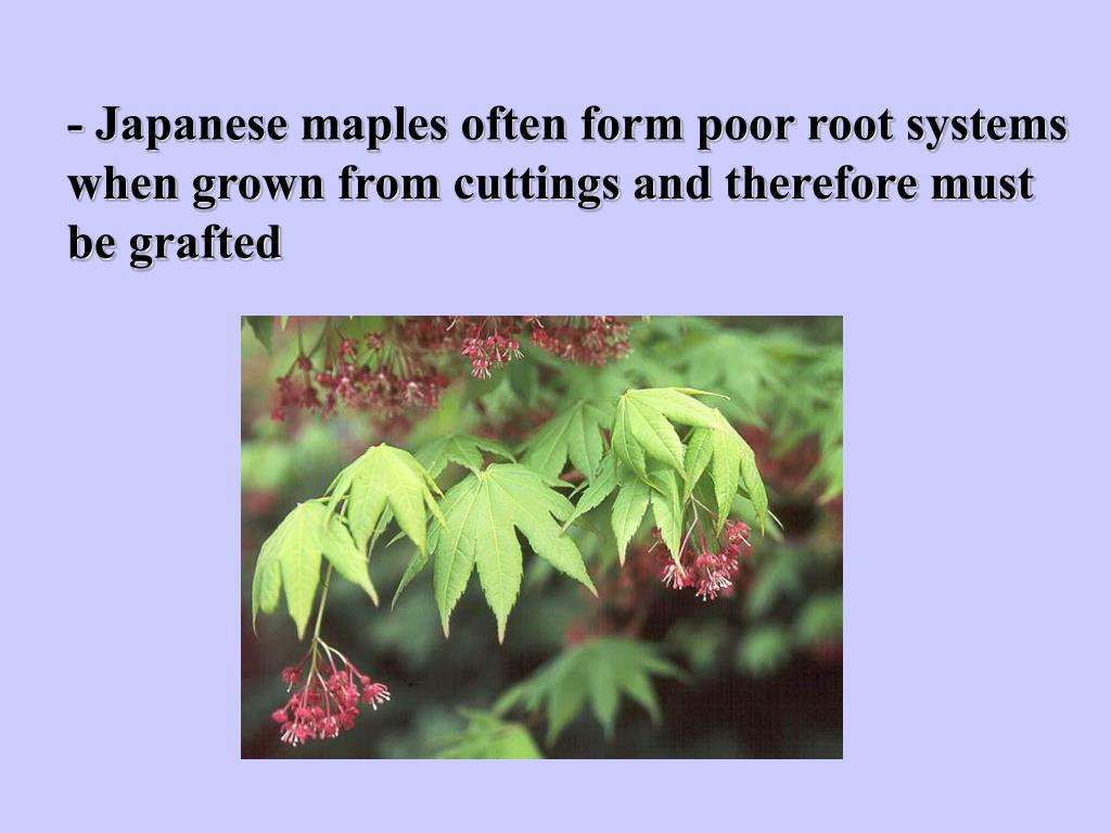 - Japanese maples often form poor root systems when grown from cuttings and therefore must be grafted
