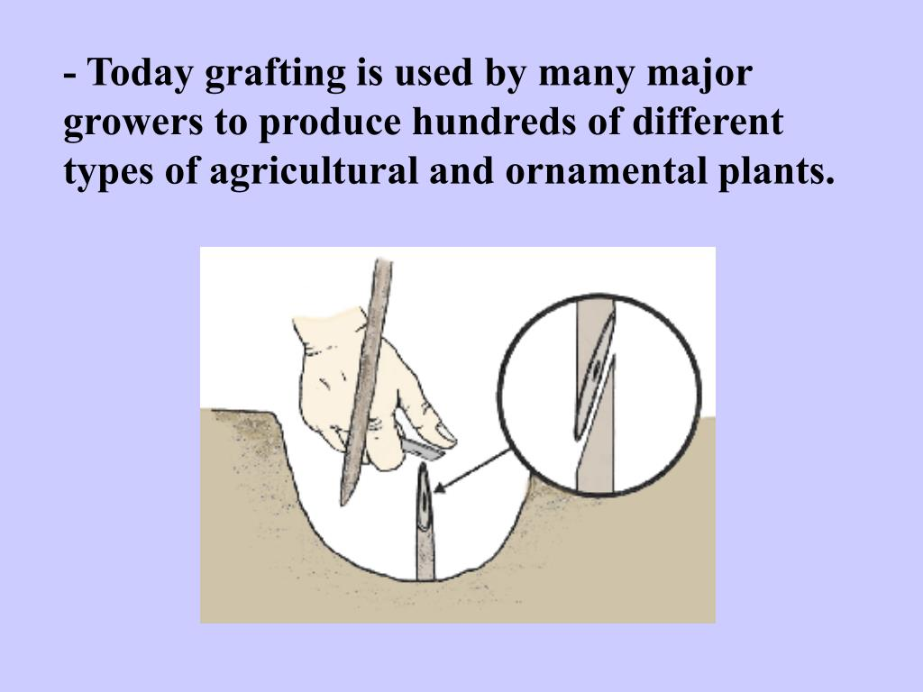- Today grafting is used by many major growers to produce hundreds of different types of agricultural and ornamental plants.