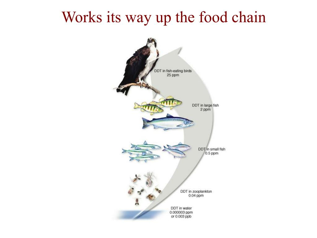 Works its way up the food chain