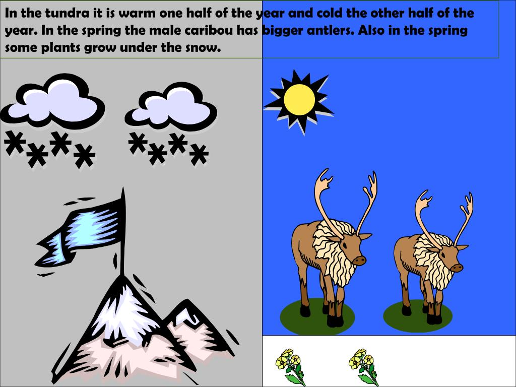 In the tundra it is warm one half of the year and cold the other half of the year. In the spring the male caribou has bigger antlers. Also in the spring some plants grow under the snow.