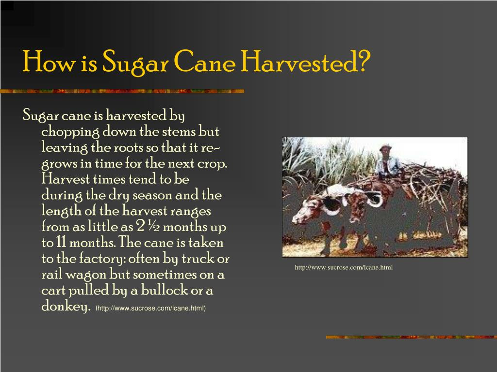 How is Sugar Cane Harvested?