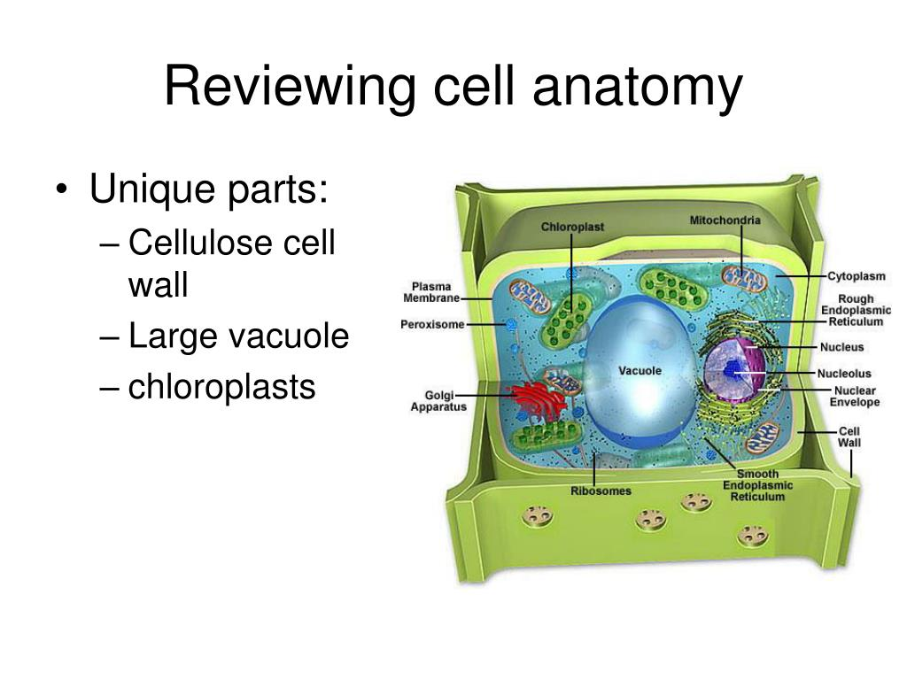 Reviewing cell anatomy