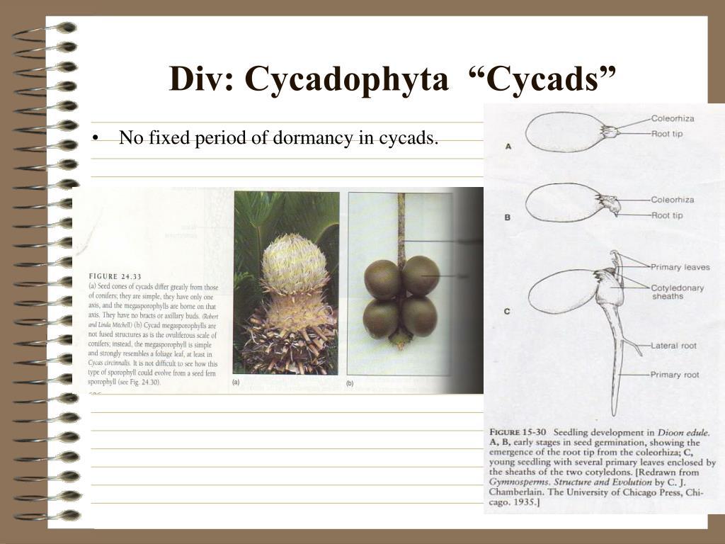 """Div: Cycadophyta  """"Cycads"""""""