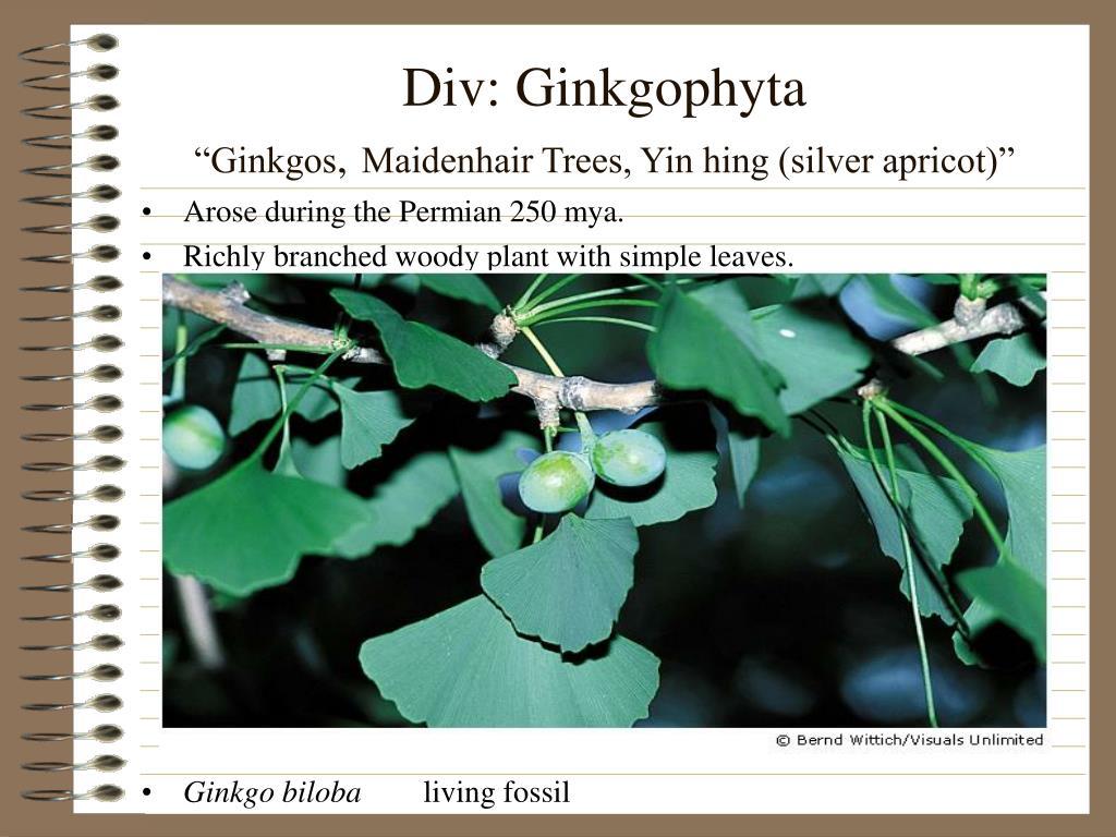 Div: Ginkgophyta