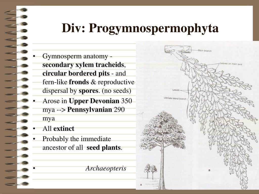 Gymnosperm anatomy -