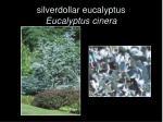 silverdollar eucalyptus eucalyptus cinera