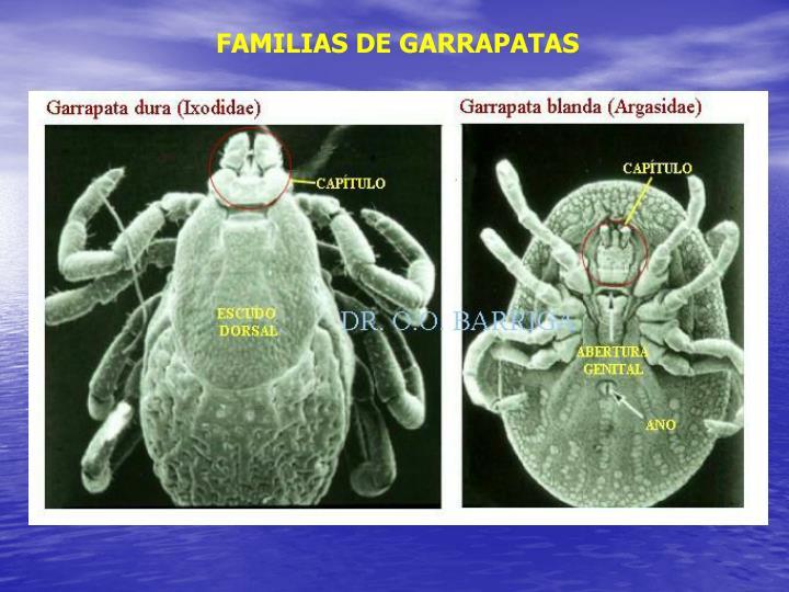 FAMILIAS DE GARRAPATAS