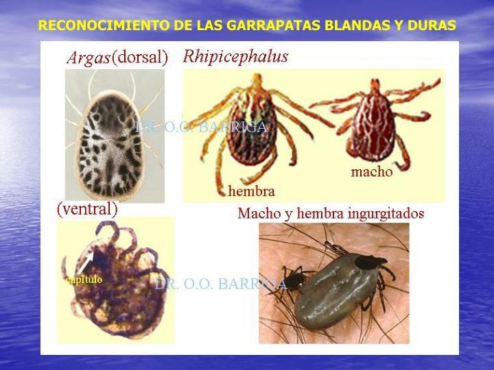 RECONOCIMIENTO DE LAS GARRAPATAS BLANDAS Y DURAS