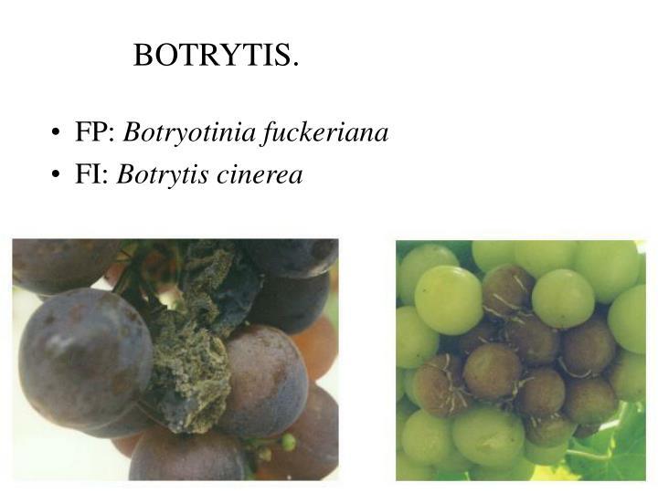 BOTRYTIS.