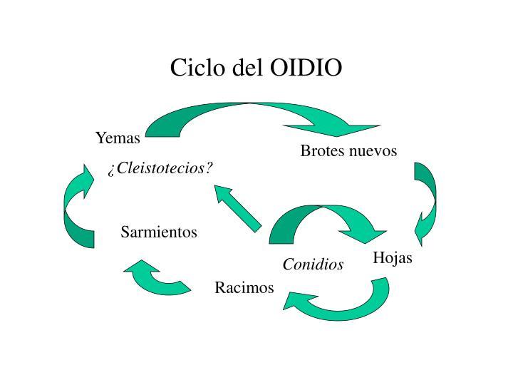 Ciclo del OIDIO