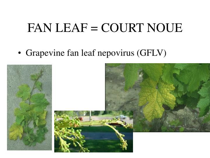 FAN LEAF = COURT NOUE