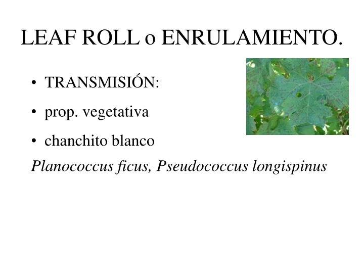 LEAF ROLL o ENRULAMIENTO.