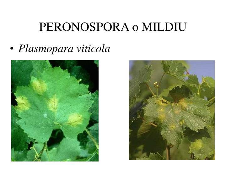 Peronospora o mildiu