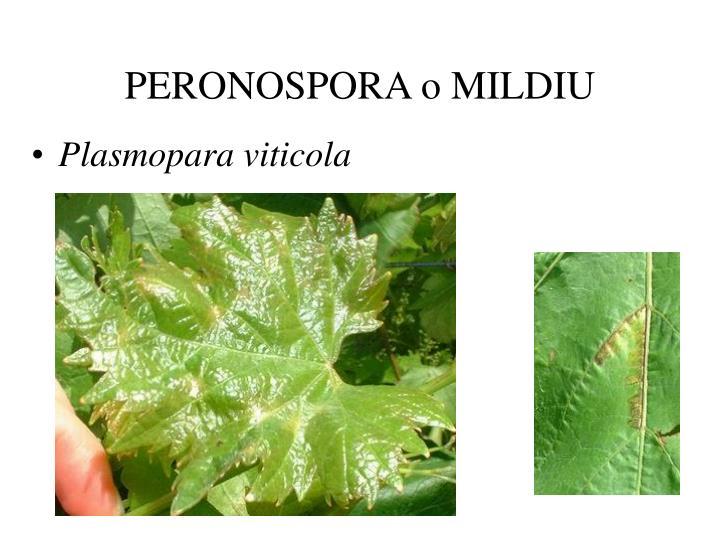 Peronospora o mildiu1
