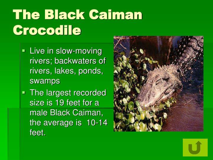 The Black Caiman Crocodile