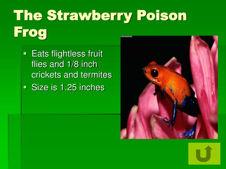 The Strawberry Poison Frog