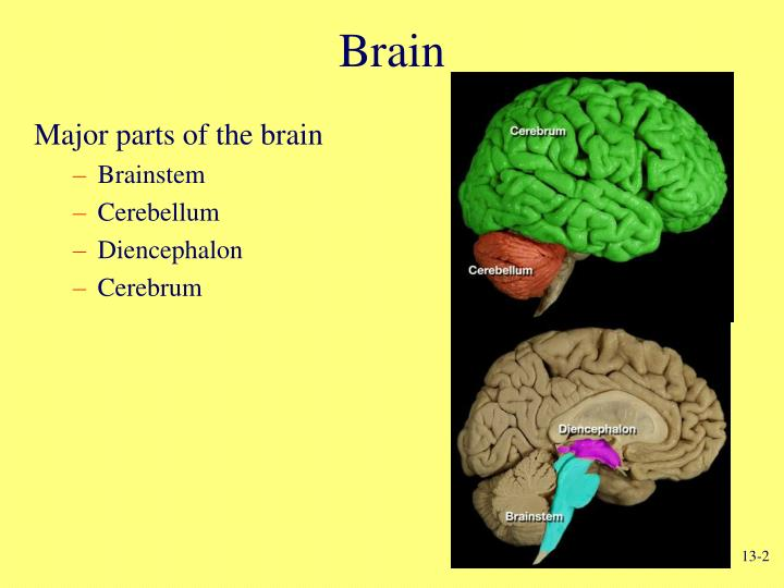 😍 What are the three parts of the diencephalon ...