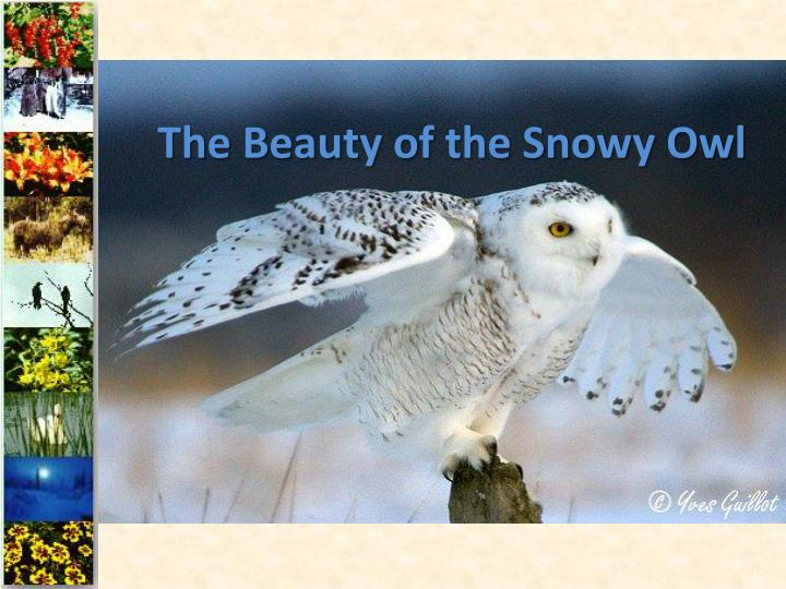 the beauty of the snowy owl n.
