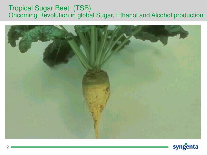 Tropical sugar beet tsb oncoming revolution in global sugar ethanol and alcohol production