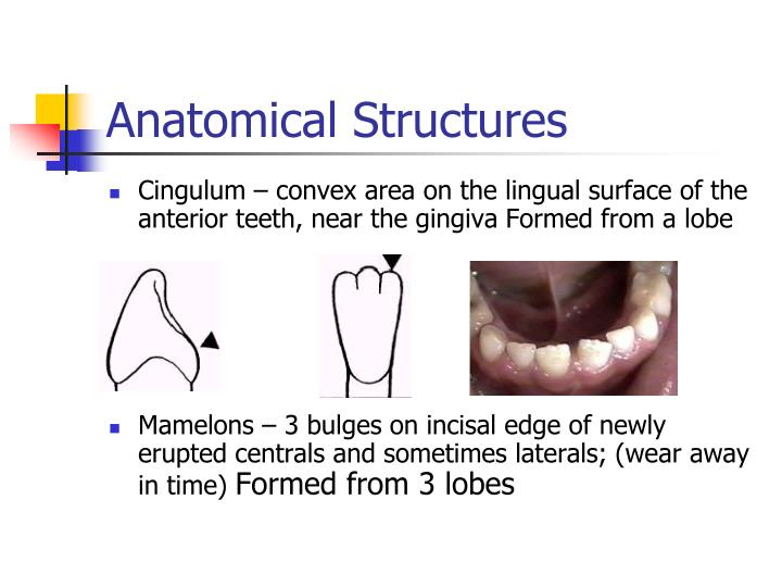 Ppt Tooth Morphology Powerpoint Presentation Id1265472