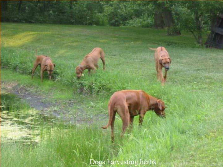 Dogs harvesting herbs