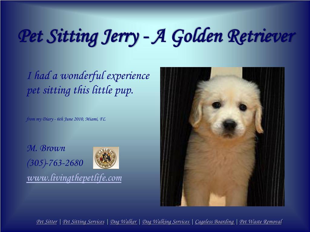 Pet Sitting Jerry - A Golden Retriever