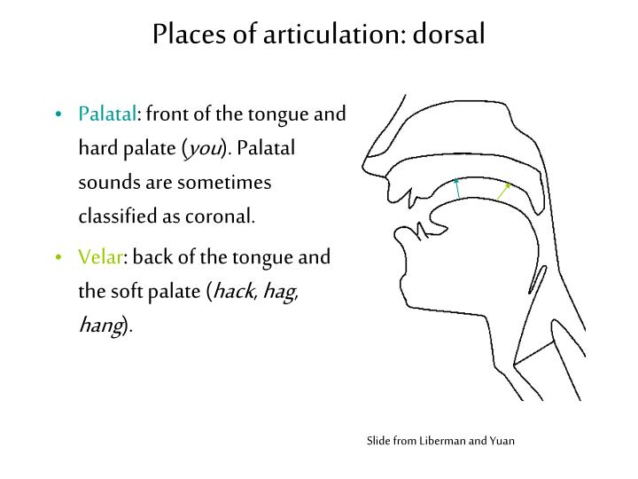Places of articulation: dorsal