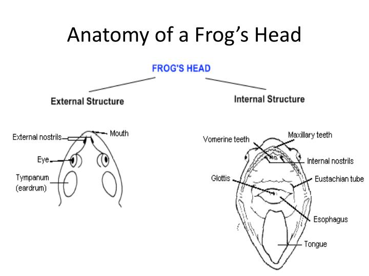 Anatomy of a frog s head