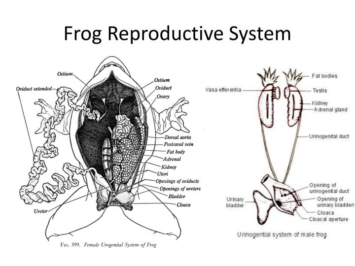 Frog Reproductive System