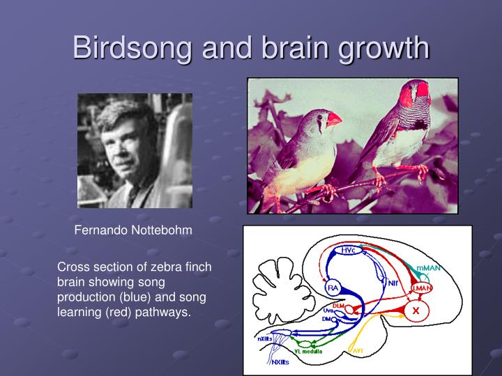 Birdsong and brain growth