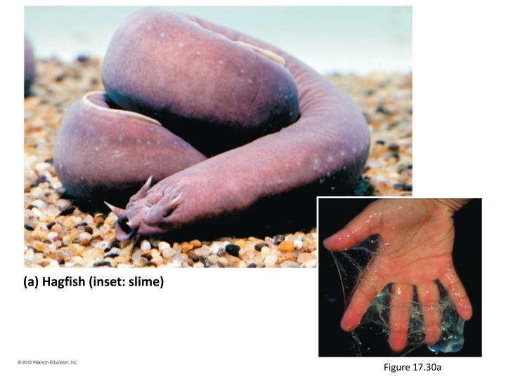 (a) Hagfish (inset: slime)
