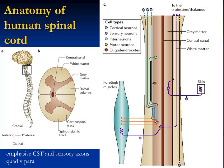 Awesome Anatomy Of Human Spinal Cord Sketch - Anatomy And Physiology ...