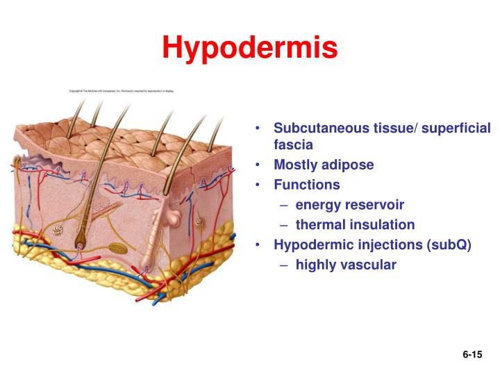 Hypodermis